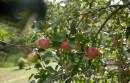 Eierlikoer-Apfeltorte